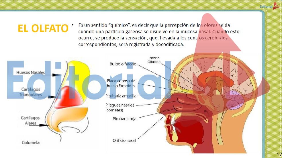 El olfato cuerpo humano