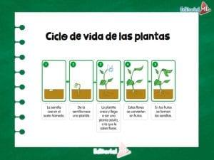 El Ciclo de Vida de las plantas
