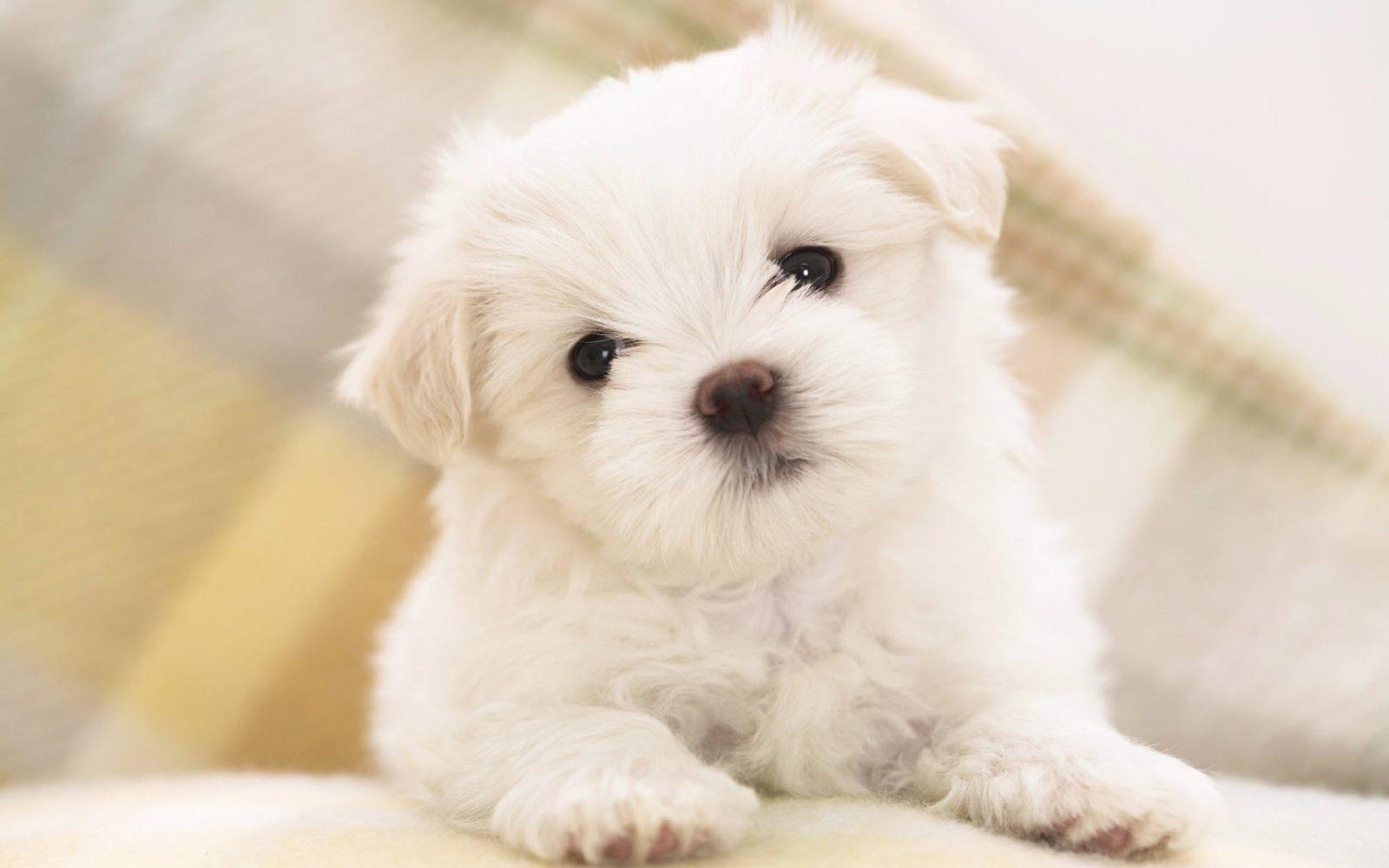 cachorro-de-bichon-maltes