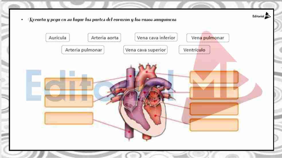 Sistema Circulatorio Humano, Funcionamiento y Partes que lo Componen