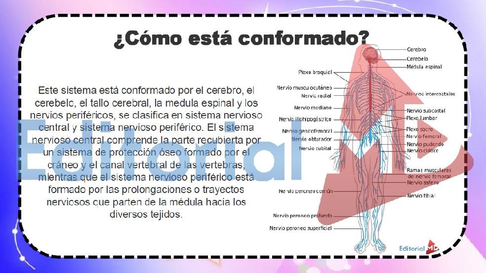el-sistema-nervioso-se-divide-en