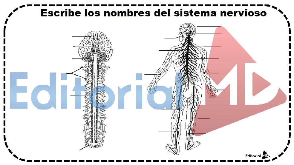 El Sistema Nervioso para Niños MATERIAL PARA IMPRIMIR